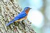 EasternBluebird(male)-LakeYale-4-29-20-SJS-007