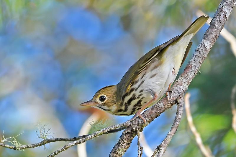 Ovenbird-OcalaNF-9-27-18-SJS-004