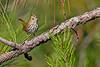 Ovenbird-OcalaNF-9-24-19-SJS-005
