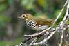 Ovenbird-OcalaNF-9-12-20-sjs-002