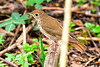 HermitThrush-MageeMarsh-5-5-18-SJS-006