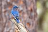 Bluebird(male)-WekiwaSpringsSP-2-12-19-SJS-005