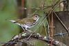 Ovenbird-SawgrassIslandPreserve-8-28-20-sjs-002
