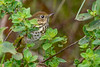 HermitThrush-EmeraldaMarsh-11-16-19-SJS-002