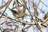 NorthernWaterthrush-EmeraldaMarsh-10-3-20-sjs-03