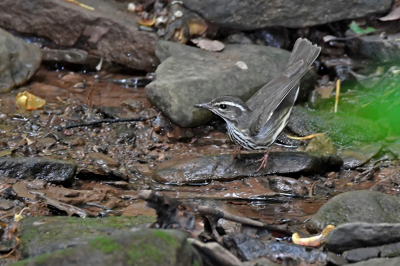 LouisianaWaterthrush-WCP-DunbarWV-SJS-004