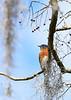 EasternBluebird-LAWD-1-1-19-SJS-001