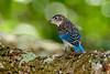 JuvenileEasternBluebird-LakeYaleFL-2016-SJS-006