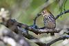 Ovenbird-OcalaNF-9-25-18-SJS-005
