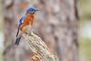 Bluebird(male)-WekiwaSpringsSP-2-12-19-SJS-010