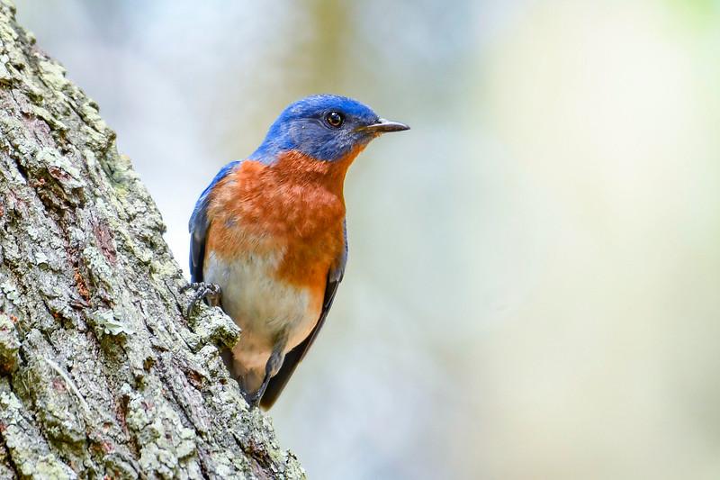 EasternBluebird(male)-LakeYale-4-29-20-SJS-005