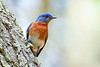 EasternBluebird(male)-LakeYale-4-29-20-SJS-005
