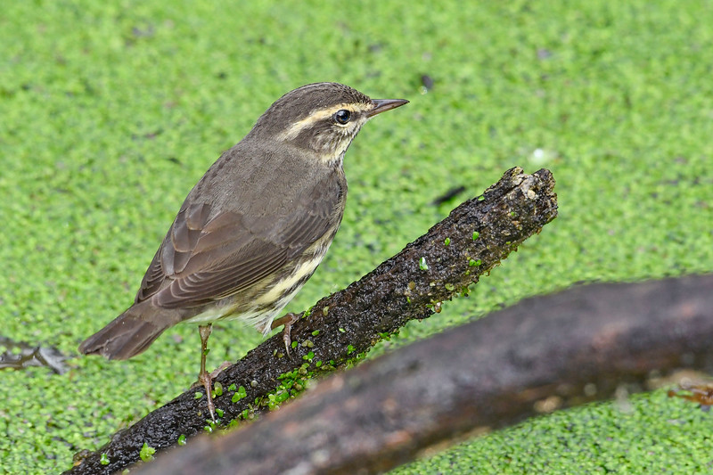 NorthernWaterThrush-LAWD-12-29-19-SJS-004