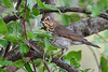 HermitThrush-MM-5-17-17-SJS-001