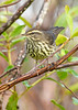 NorthernWaterthrush-EmeraldaMarsh-10-2-20-sjs-03