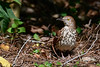 BrownThrasher-HarryLeuGardens-4-23-19-SJS-002