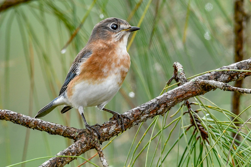 EasternBluebird-PineMeadows-11-15-19-SJS-002