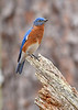 Bluebird(male)-WekiwaSpringsSP-2-12-19-SJS-011