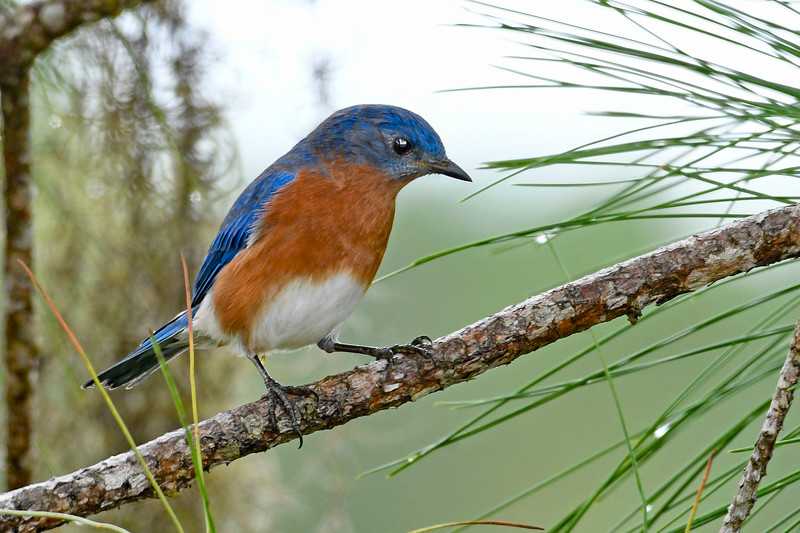 EasternBluebird-PineMeadows-11-15-19-SJS-005