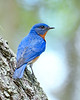 EasternBluebird(male)-LakeYale-4-29-20-SJS-010