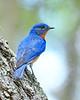 EasternBluebird(male)-LakeYale-4-29-20-SJS-010
