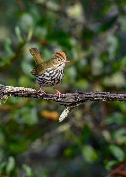 Ovenbird-OcalaNF-9-13-20-sjs-004