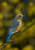 EasternBluebird-008