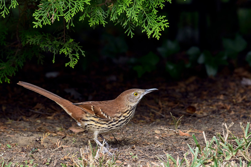 BrownThrasher-HamptonVA-9-30-19-SJS-001