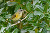 AmericanRedstart(female)-PineMeadows-10-6-20-sjs-03