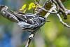 Black&WhiteWarbler-FortDeSoto-4-20-19-SJS-002