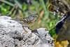 BlackpollWarbler(female)-FortDeSoto-4-22-19-SJS-005