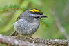 GoldenCrownedKinglet-BlackwaterFallsSP-5-9-19-SJS-004