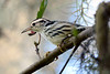 Black&WhiteWarbler-OaklandNaturePreserve-FL-2-28-17-SJS-006