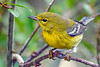 PineWarbler-PineMeadows-11-14-19-SJS-002