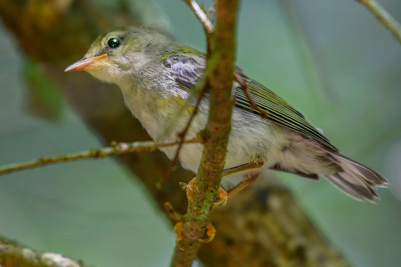 NorthernParula-LettuceLake-4-30-19-SJS-004