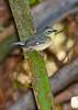 BlackThroatedBlueWarbler(f)-SawgrassPreserve-5-2-20-SJS-03