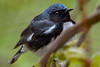 BlackThroatedBlueWarbler-MageeMarsh-5-12-19-SJS-001