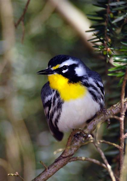 Yellow-throatedWarbler-003