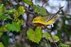 PineWarbler-EmeraldaMarsh 10-22-19-SJS-001