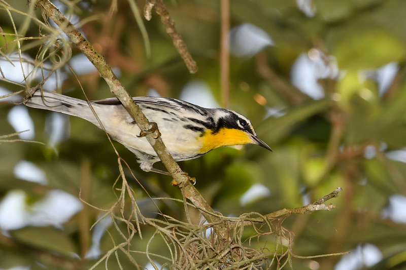 Yellow-ThroatedWarbler-HarryLeuGardens-9-5-18-SJS-003