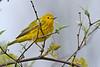 YellowWarbler-MageeMarshOH-5-6-18-SJS-001
