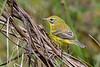 PrairieWarbler-LakeYale-11-14-19-SJS-005