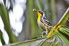 Yellow-ThroatedWarbler-LakeDoraFL-10-16-18-SJS-006