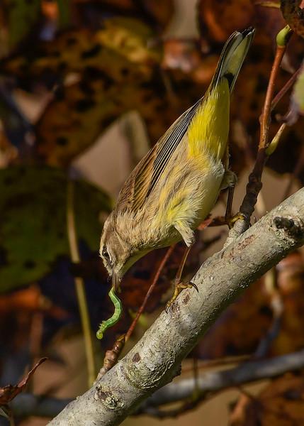PalmWarbler-PineMeadowsCA-11-15-20-sjs-002
