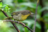 CommonYellowThroat-EmeraldaMarsh-10-9-19-SJS-002