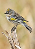 YellowRumpedWarbler-LAWD-2-3-18-SJS-011