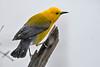 ProthonotaryWarbler-MageeMarsh-5-6-18-SJS-001