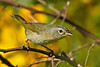CommonYellowThroat-LAWD-12-7-18-SJS-005