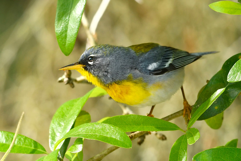 NorthernParula-PineMeadowsCA-3-8-19-SJS-003