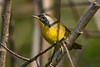 CommonYellowThroat-EmeraldaMarsh-10-30-19-SJS-002